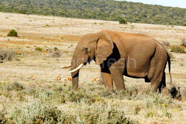 African Bush Elephant with his trunk in the grass. Stock photo © markdescande