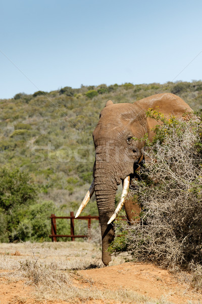 Elephant peeping out of the thorn bush Stock photo © markdescande