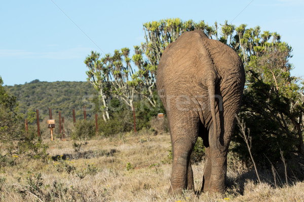 Backside of an Elephant standing at the bushes Stock photo © markdescande