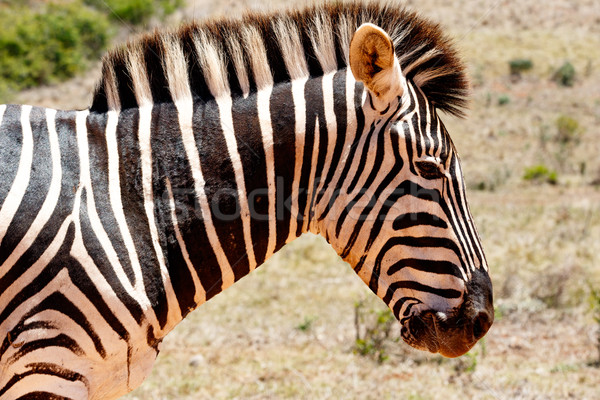 Zebra looking down and thinking Stock photo © markdescande