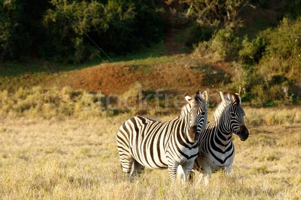 Zebra áll néz fűmező égbolt fű Stock fotó © markdescande