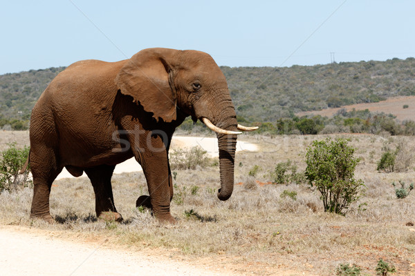 The Road to the African Bush Elephant Stock photo © markdescande