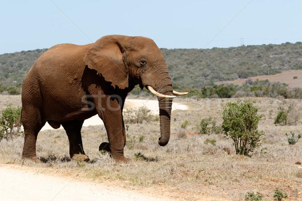 út afrikai bokor elefánt erdő természet Stock fotó © markdescande