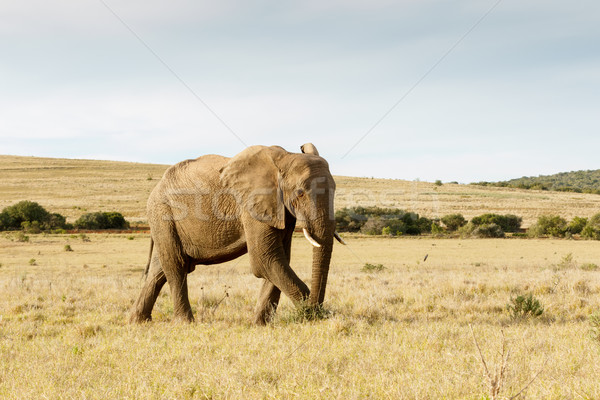The African Bush Elephant just taking a stroll Stock photo © markdescande