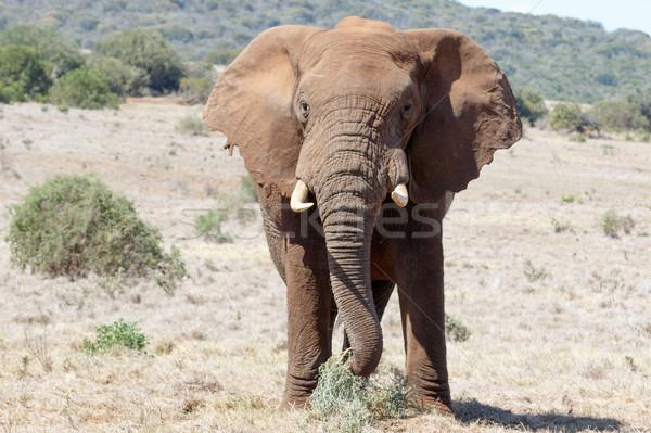 Stoppen me reusachtig afrikaanse bush Stockfoto © markdescande
