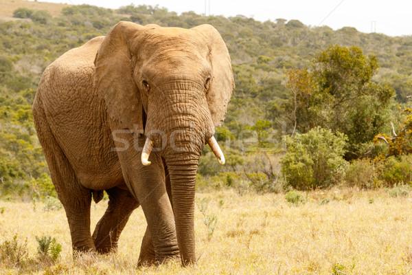 Elefánt sétál mező erdő természet utazás Stock fotó © markdescande