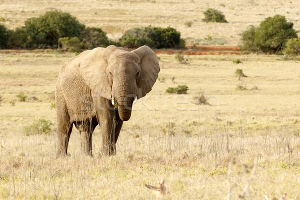 Afrika fil ayakta yeme alan açmak sarı Stok fotoğraf © markdescande