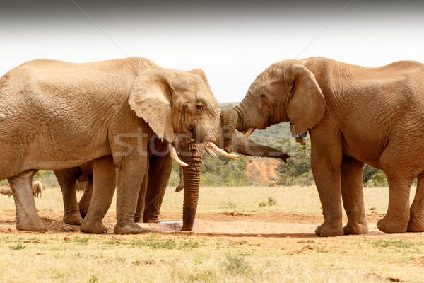 Bush Elephant trunk twist Stock photo © markdescande