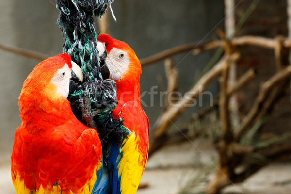 Parrots clinging on a rope Stock photo © markdescande