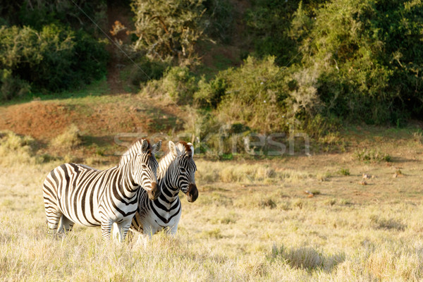 The sun setting down on two Zebras Stock photo © markdescande
