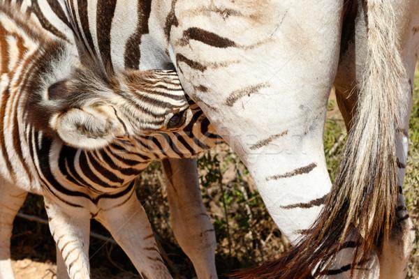 ребенка зебры питьевой мамы вверх небе Сток-фото © markdescande