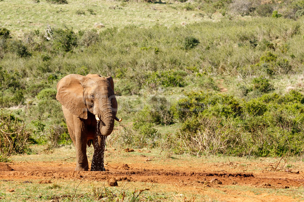 Bush Elephant enjoying her water Stock photo © markdescande