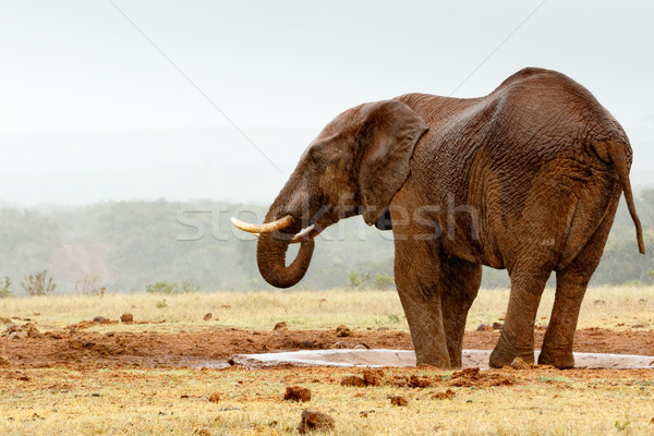 Bush Elephant with his feet in the dam  Stock photo © markdescande