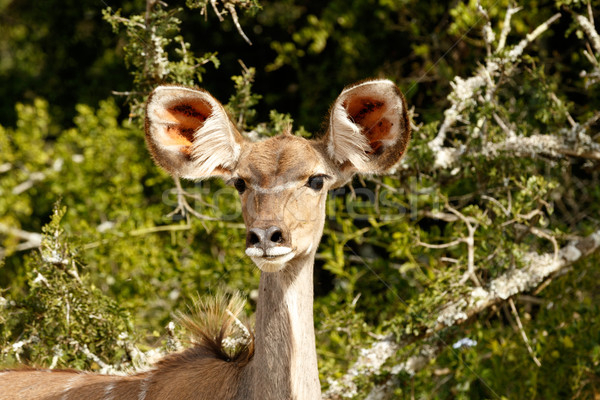 Greater Female Kudu with sharp ears Stock photo © markdescande
