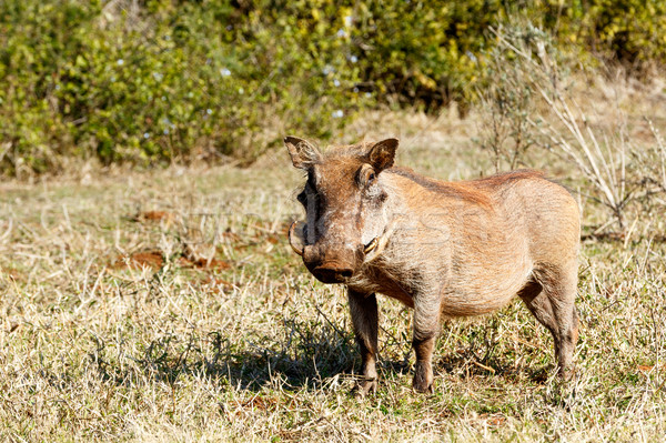 Warthog Standing and looking.  Stock photo © markdescande