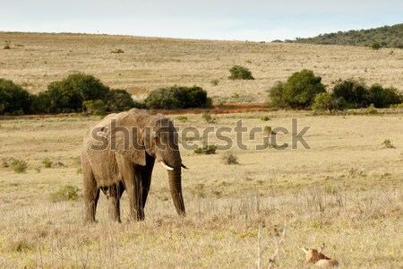 African Bush Elephant walking to baby red heart beast Stock photo © markdescande