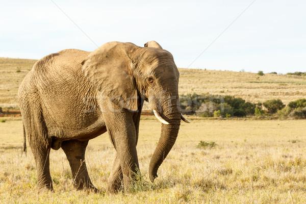 Stock fotó: Afrikai · elefánt · áll · mező · fű · magas · rövid
