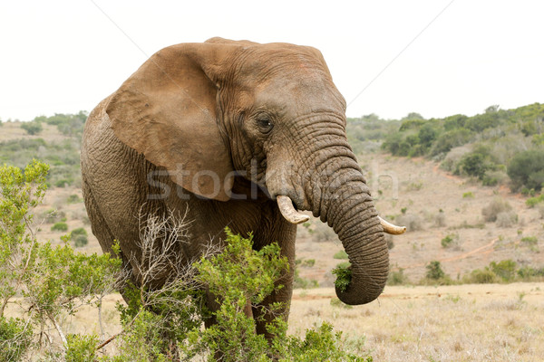 Bush Elephant standing behind the bushes Stock photo © markdescande