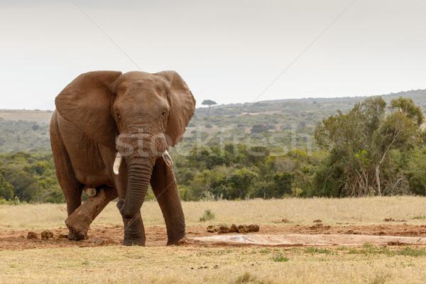 Cross legs african bush elephant Stock photo © markdescande
