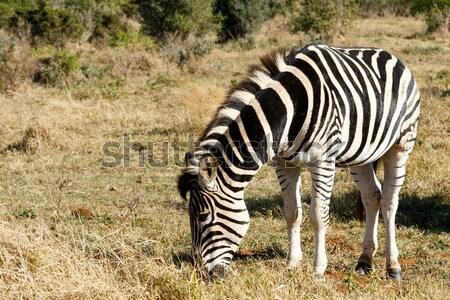 Burchell's Zebra eating grass Stock photo © markdescande