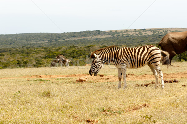 Burchell's Zebra Stock photo © markdescande