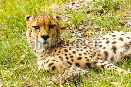 Cheetah lifting his head Stock photo © markdescande