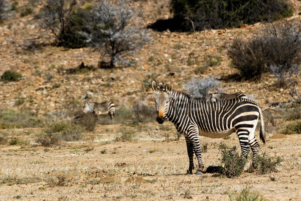 Mountain Zebra standing in a field Stock photo © markdescande