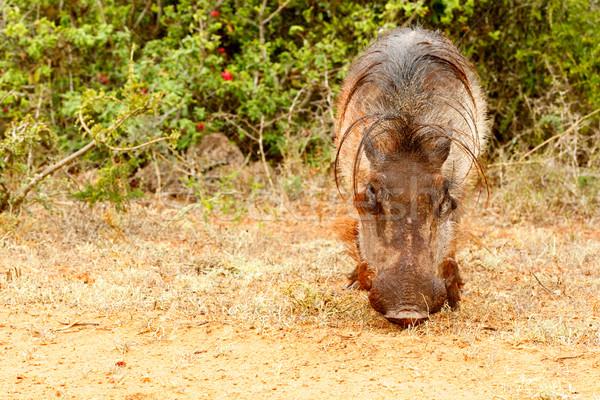 Vue herbe portrait porc jeunes Photo stock © markdescande