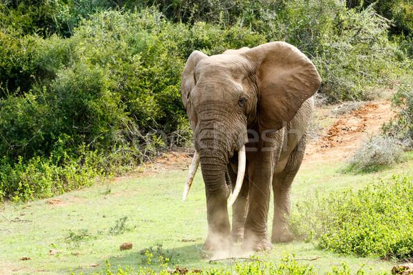 Stock fotó: Nagy · afrikai · bokor · elefánt · hatalmas · alsónadrágok