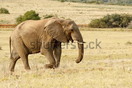 African Elephant taking a stroll in the park Stock photo © markdescande