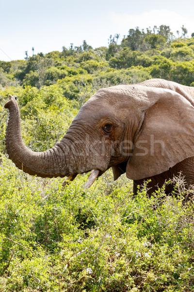 Elefánt összes bokrok felfelé levegő erdő Stock fotó © markdescande