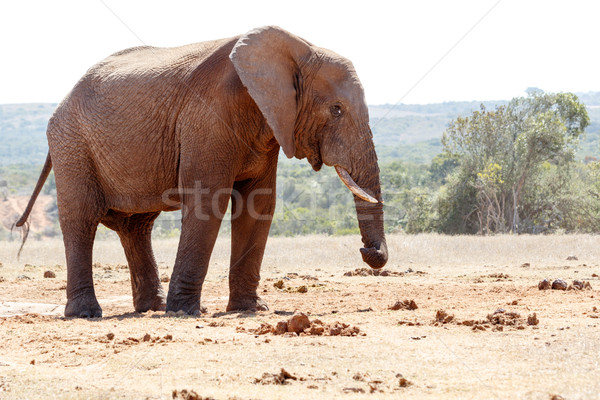 Bush Elephant twisting his trunk Stock photo © markdescande