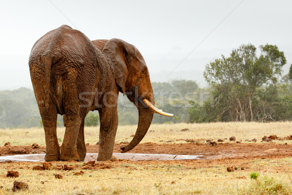 Bush Elephant standing sideways at the dam Stock photo © markdescande