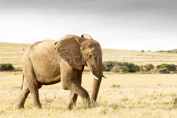 Sietség afrikai bokor elefánt sötét hamarosan Stock fotó © markdescande