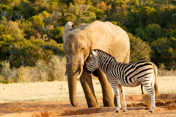Zebra mocking a huge african bush elephant Stock photo © markdescande
