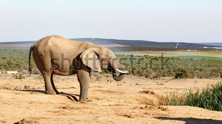 Young African Bush Elephant drinking water Stock photo © markdescande