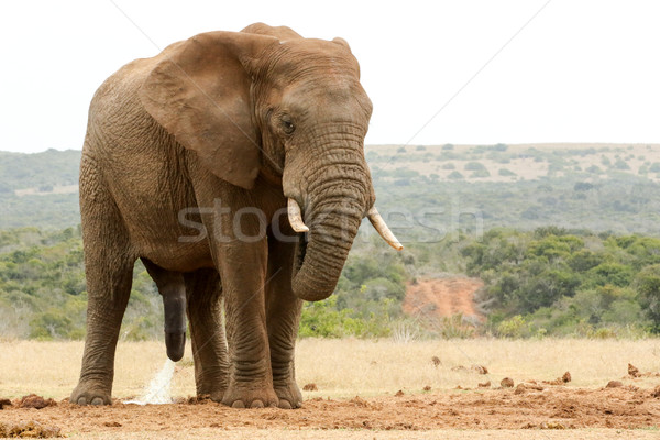 Bush Elephant with his head down - please need some privacy Stock photo © markdescande