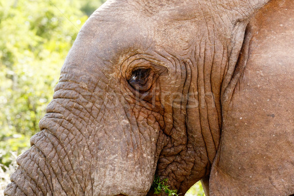 Stock fotó: Elefánt · eszik · levél · néz · erdő · természet