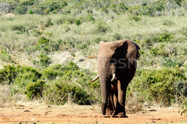 Afrikai elefánt áll elvesz törik mező erdő Stock fotó © markdescande