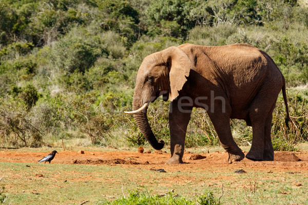 Bush Elephant staring at the bird Stock photo © markdescande