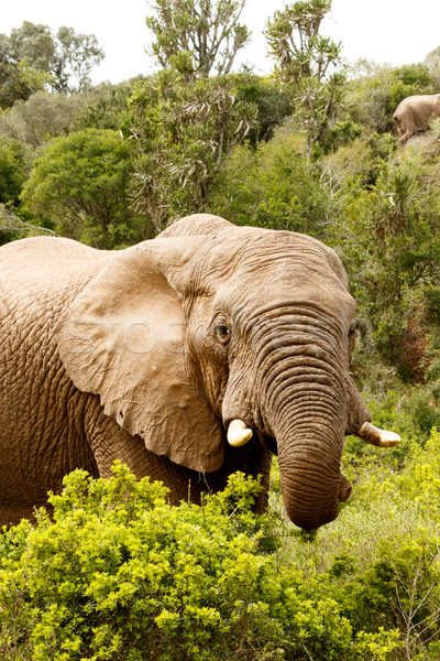 Elephant with his trunk Curled up  Stock photo © markdescande