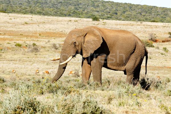Afrikai elefánt áll elefánt mező eszik fű Stock fotó © markdescande
