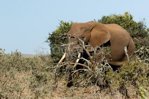 çalı fil ayakta şube alan orman Stok fotoğraf © markdescande