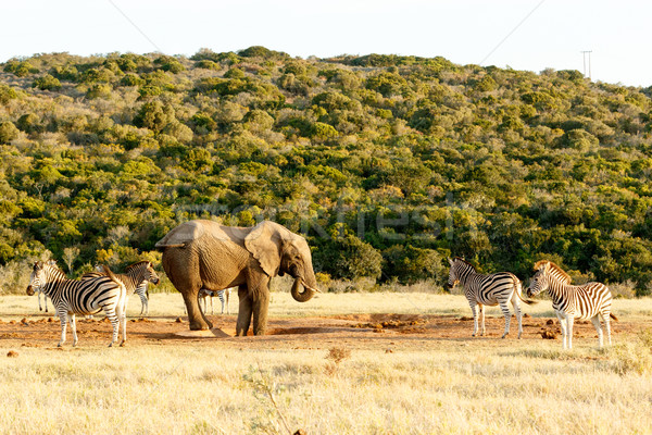 The Elephant and Zebra tail fight Stock photo © markdescande