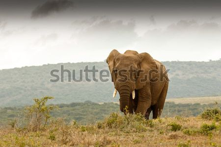 Zonsondergang pose bush olifant permanente poseren Stockfoto © markdescande