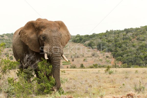 Bush Elephant grabbing a branch Stock photo © markdescande