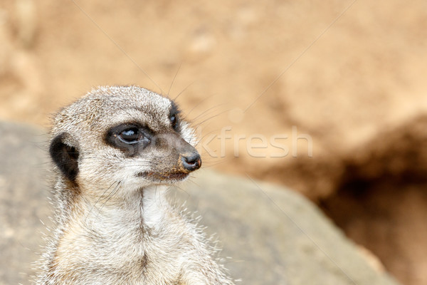Meerkat standing and staring in a distance  Stock photo © markdescande