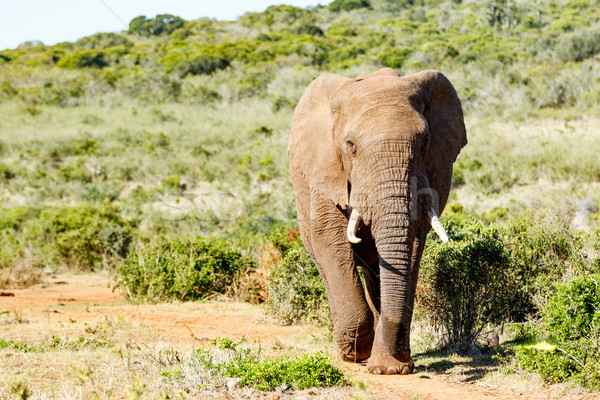 African Bush Elephant storming down the hill Stock photo © markdescande