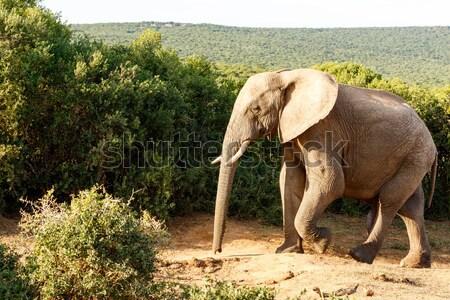 Fil yürümek bakıyor yalnız Afrika Stok fotoğraf © markdescande