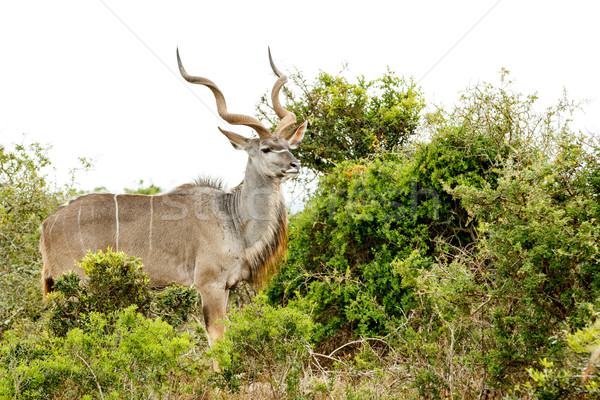 Greater Kudu standing loud and proud in the field Stock photo © markdescande
